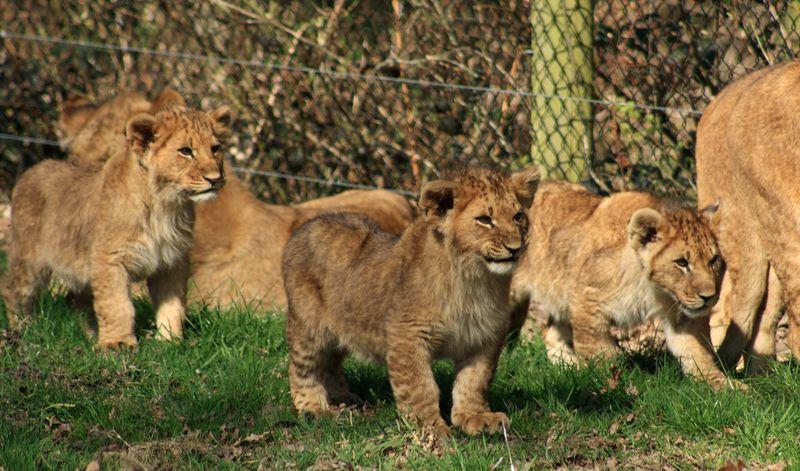 Lion cubs 8