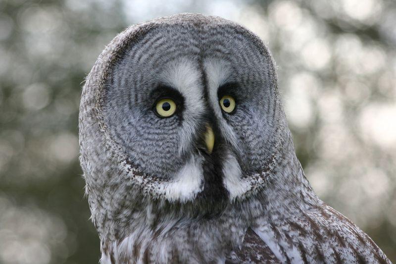 Great_grey_owl3