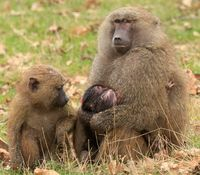 Knowsley Safari baboon twins March 2015 (2)