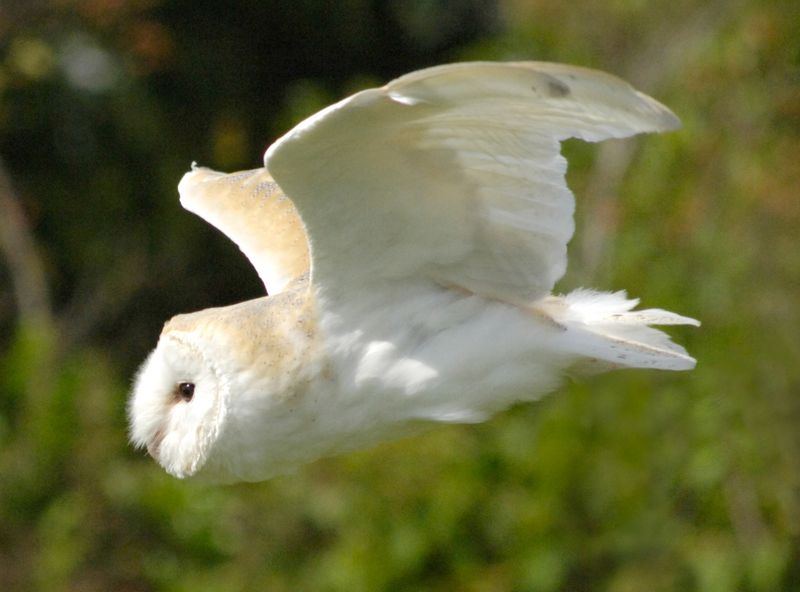KnowsleySafariBarnOwl