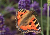 KnowsleySafari Butterfly
