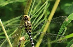 KnowsleySafari - Dragonfly(1)