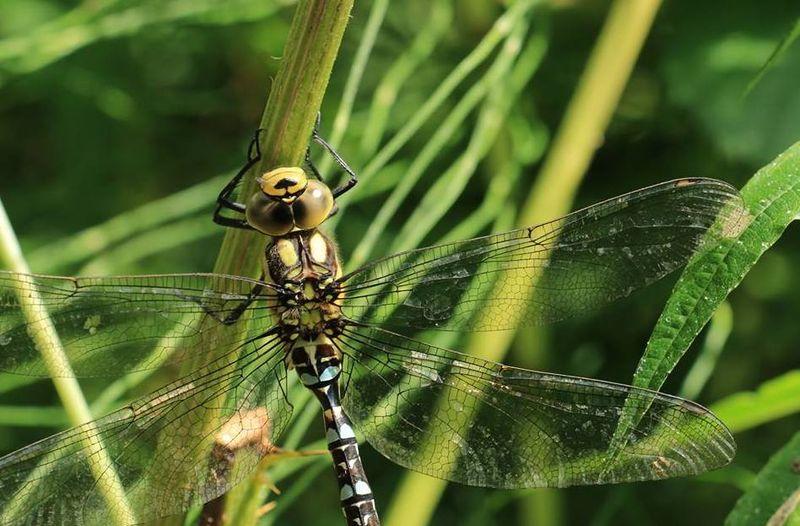 KnowsleySafari - Dragonfly(1)