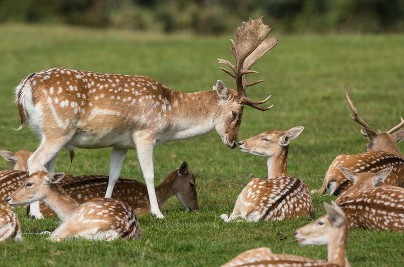 Knowsley Safari Fallow Deer