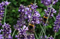 KnowsleySafari Bumblebee lavender